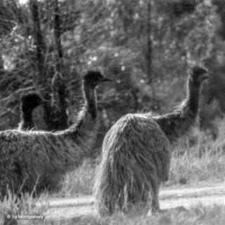 Drei Emus im australischen Busch