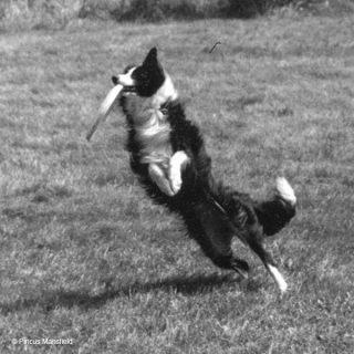 Die Border Collie Hündin Tess liebt Frisbees